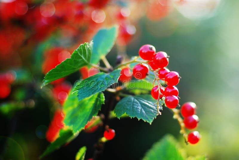 Baies des groseilles rouges s'élevant dans le jardin dans l'éclat du soleil photos libres de droits