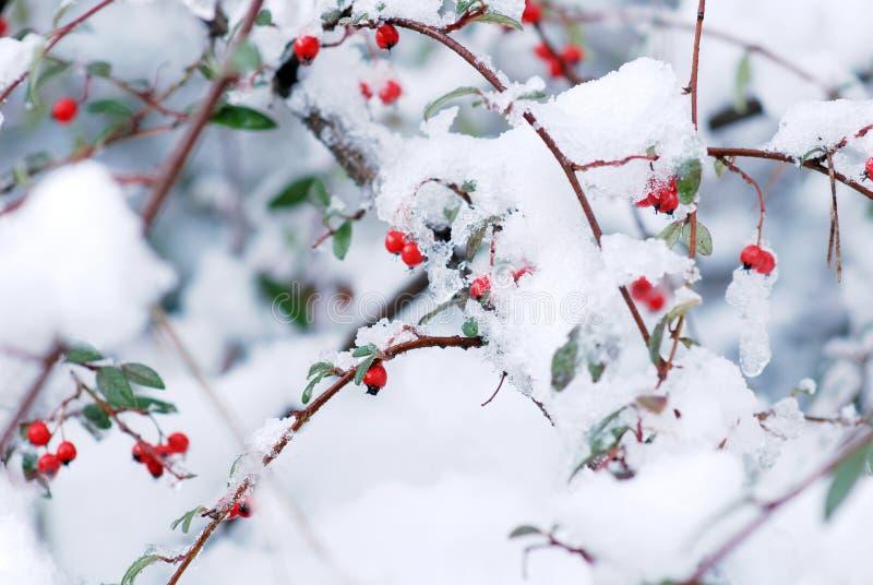 Baies et neige image libre de droits