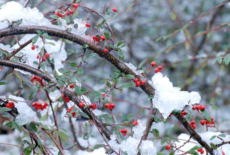 Baies et neige rouges image libre de droits