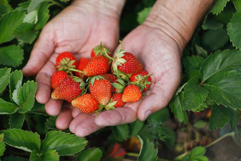 Baies fraîchement sélectionnées des fraises dans les mains photographie stock