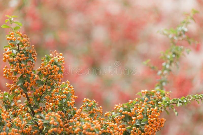 Baies jaunes de pyracanthus arbustif photo stock