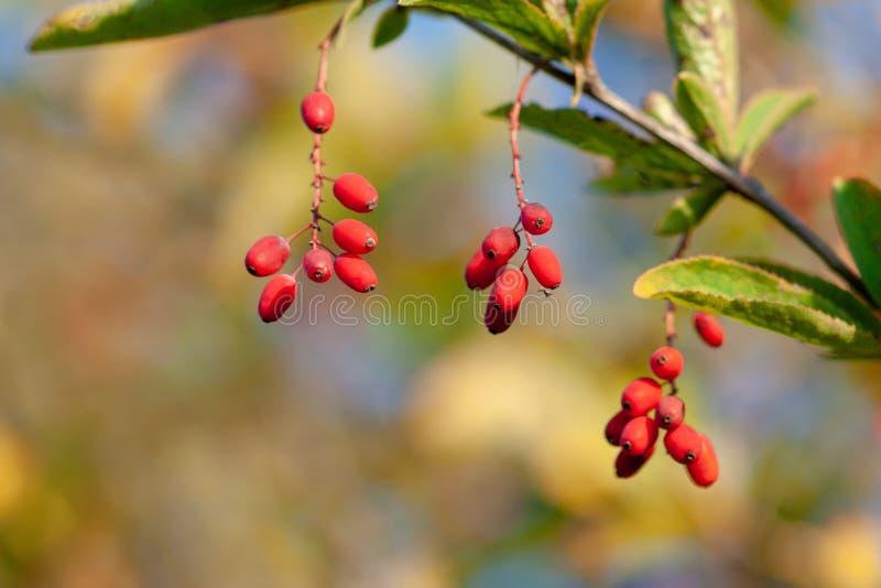 Baies mûres de berbéris sur une branche Berberis vulgaris photo stock