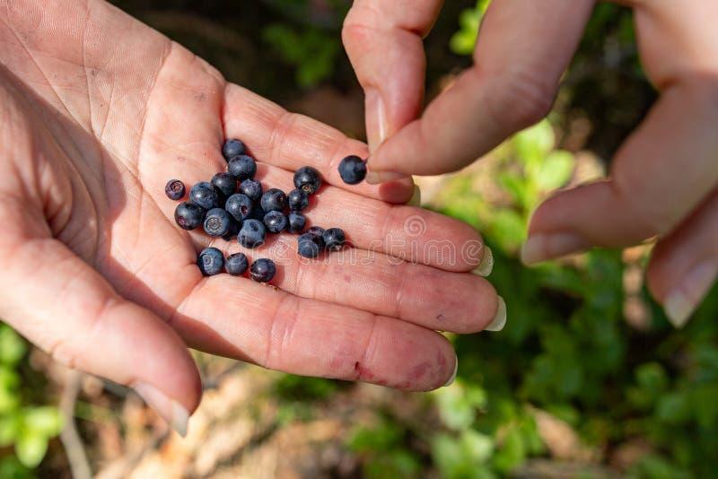 Baies mûres de forêt sur un woman&#x27 ; main de s Sélection des fruits savoureux de forêt images stock