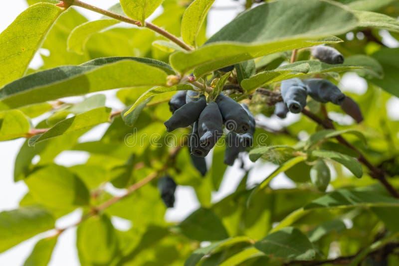 Baies mûres du Lonicera comestible de chèvrefeuille sur une branche sur un fond des feuilles vertes Fin vers le haut photo stock