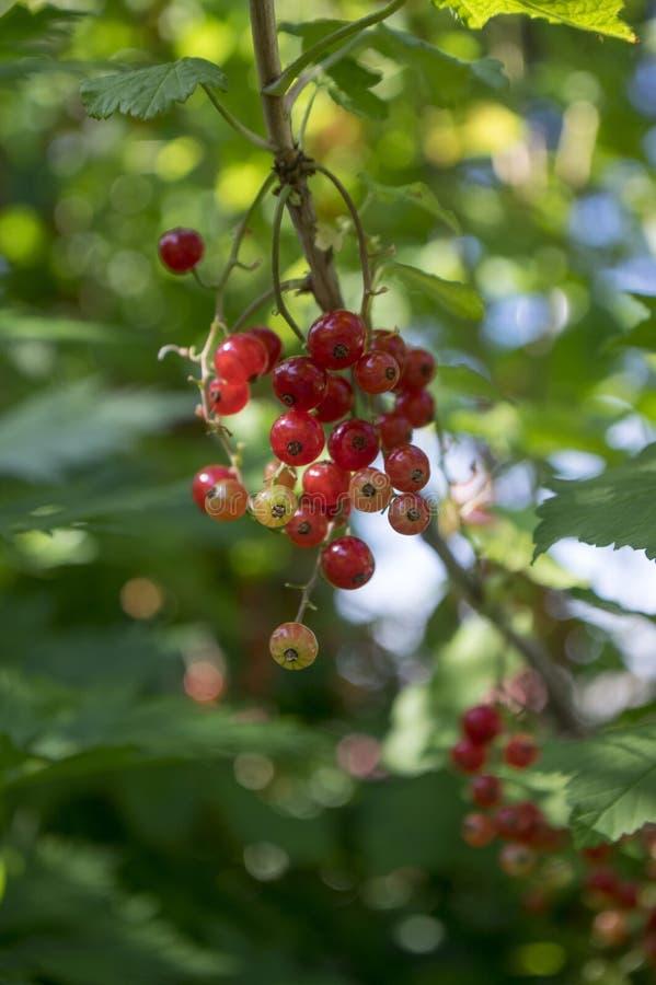 Baies mûries de groseille rouge sur la branche, fin extérieure saine de macro de jardin de produit de bio arrière-cour organique  photo libre de droits
