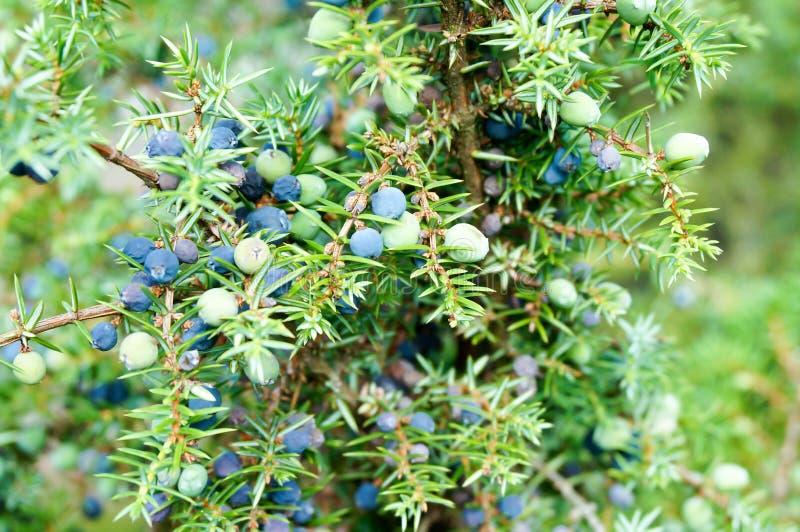 Baies mûres et non mûres de cône de juniperus communis (junipe commun image libre de droits