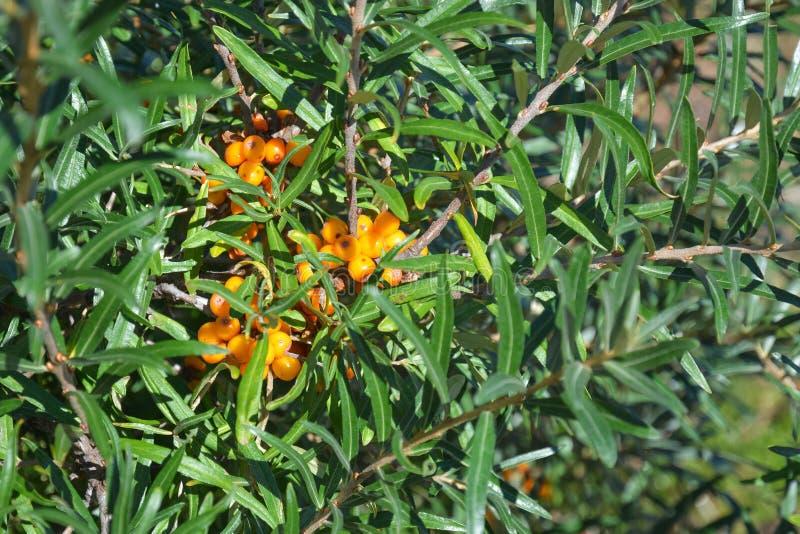 Baies mûres sur les branches de l'arbre de mer-nerprun photo stock