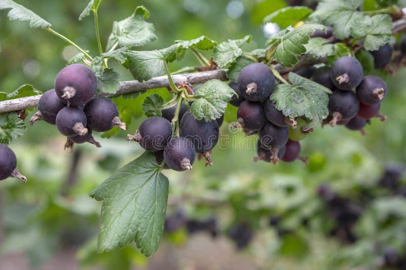 Baies noires mûries de jostaberries sur la branche, bio jardin extérieur sain organique de produit avant récolte image libre de droits