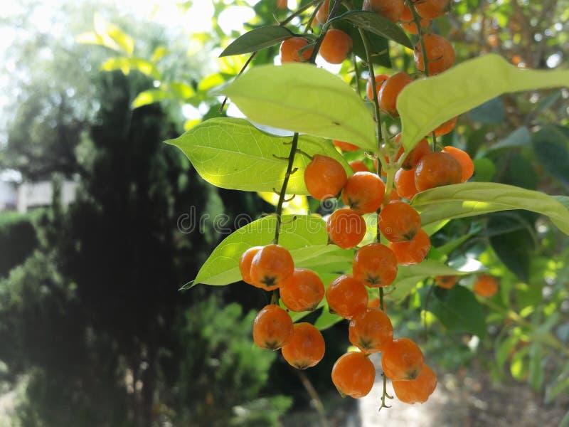 Baies oranges photographie stock libre de droits