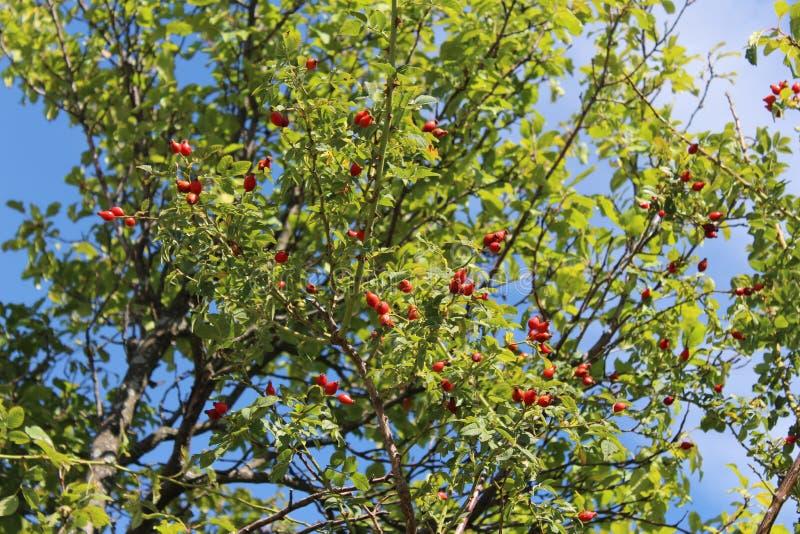Baies roses de crabot image libre de droits