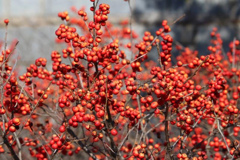 Baies rouges photos stock