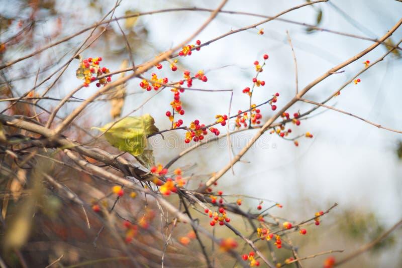 Baies rouges d'automne photographie stock