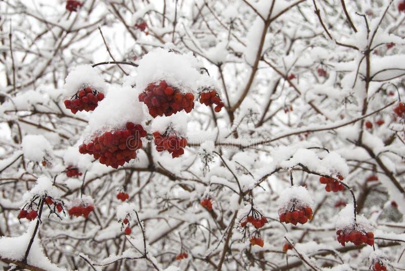 Baies rouges dans la neige. photos libres de droits