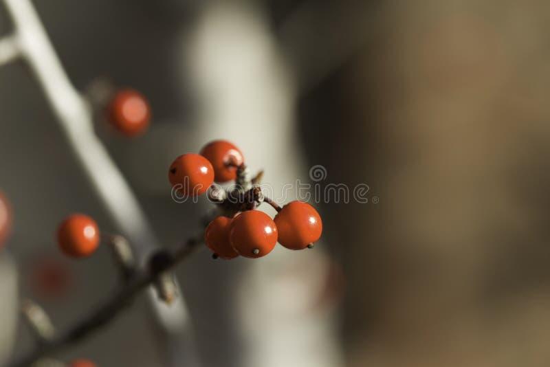 Baies rouges en automne photographie stock