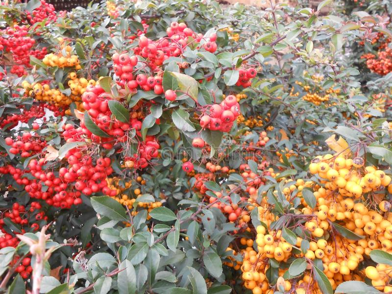 baies rouges et jaunes dehors photo stock