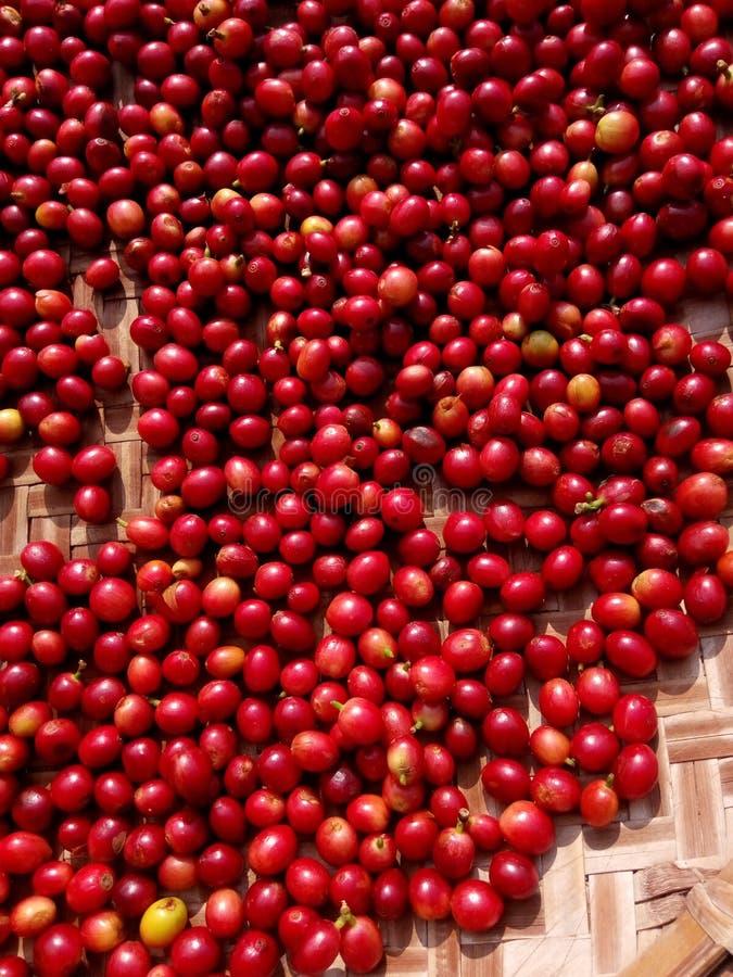 Baies rouges fraîches de grains de café dans le processus de séchage images libres de droits