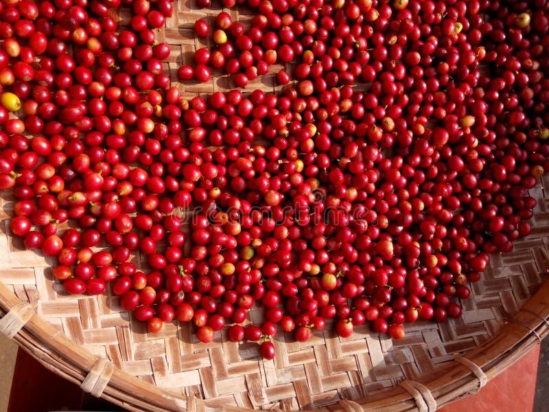 Baies rouges fraîches de grains de café dans le processus de séchage photo stock
