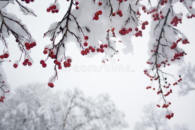 Baies rouges sur les branches neigeuses photo stock