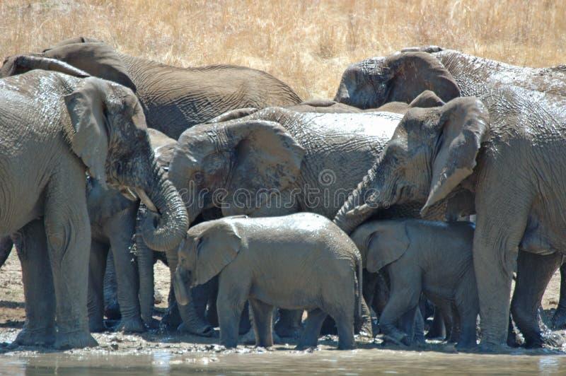 Baigner des éléphants. image libre de droits