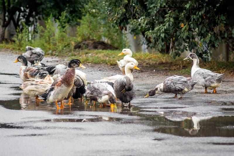 Baigner des canards dans le magma Canards à une ferme, farming_ de volaille de ferme image stock