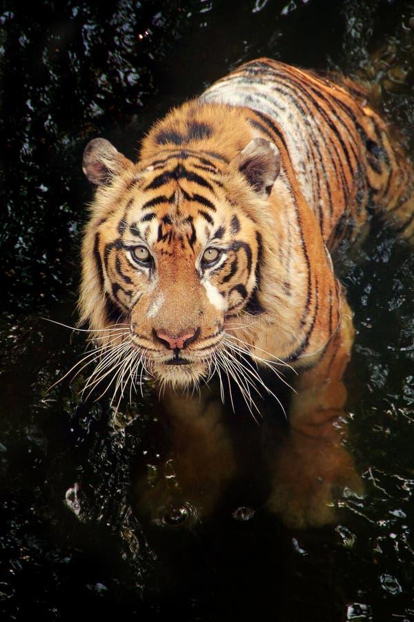 Baigner le tigre images stock