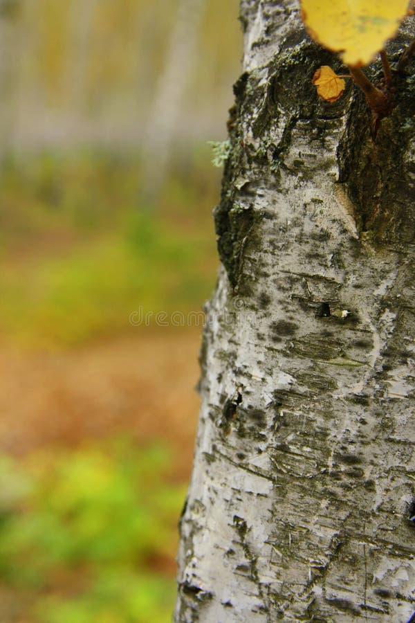 Дерево березы r Яркие цвета осени стоковое фото rf