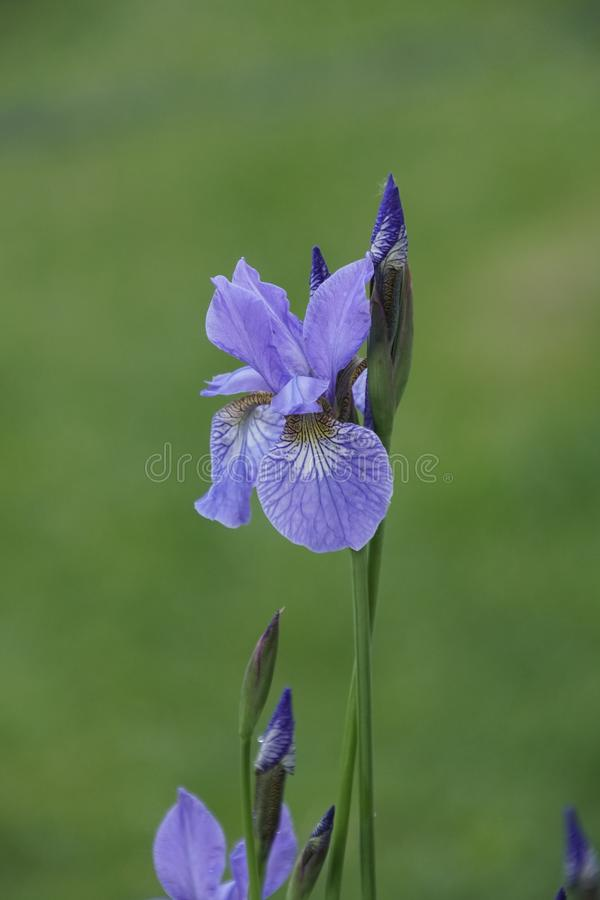 Baikal blue iris Spring bloom May. Charm and the magic of nature. Delicate bright flowers stock photo