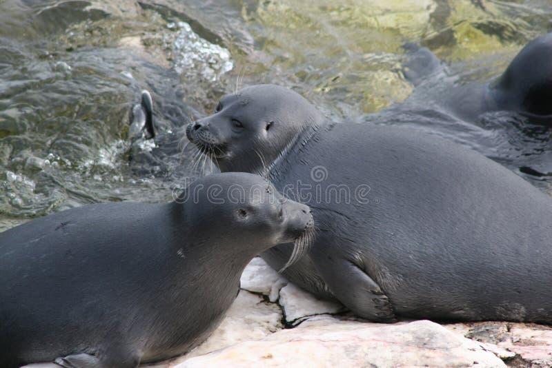Baikal Mammal-seal royalty free stock photo