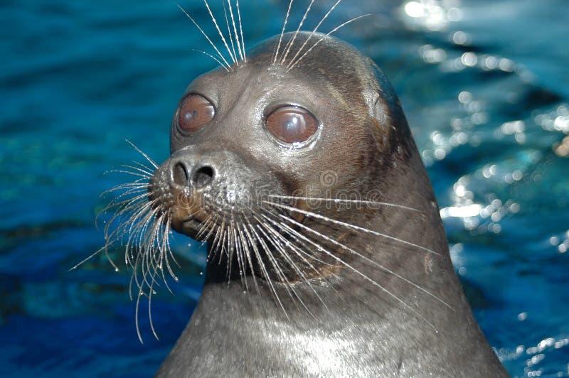 The Baikal Seal royalty free stock image