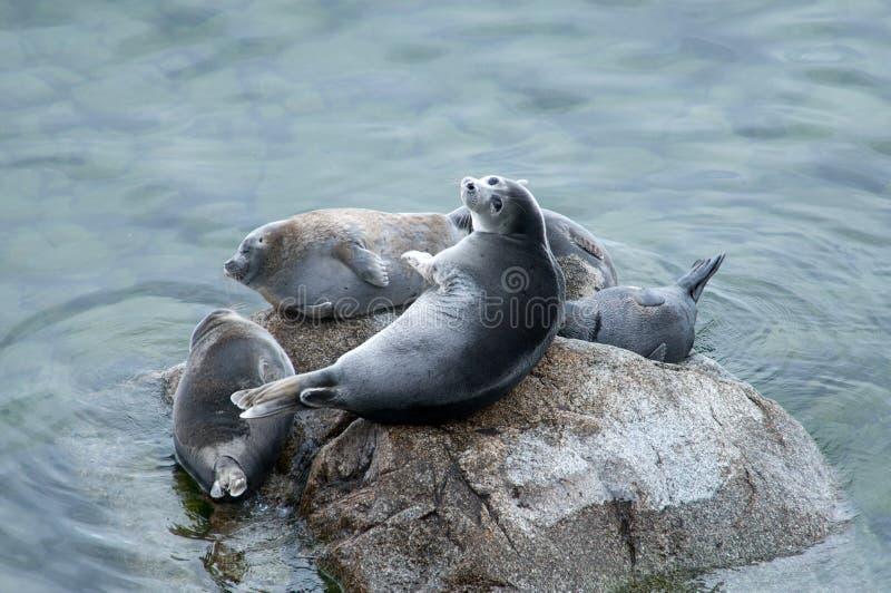 The Baikal seal nerpa. Bask in the sun stock photos