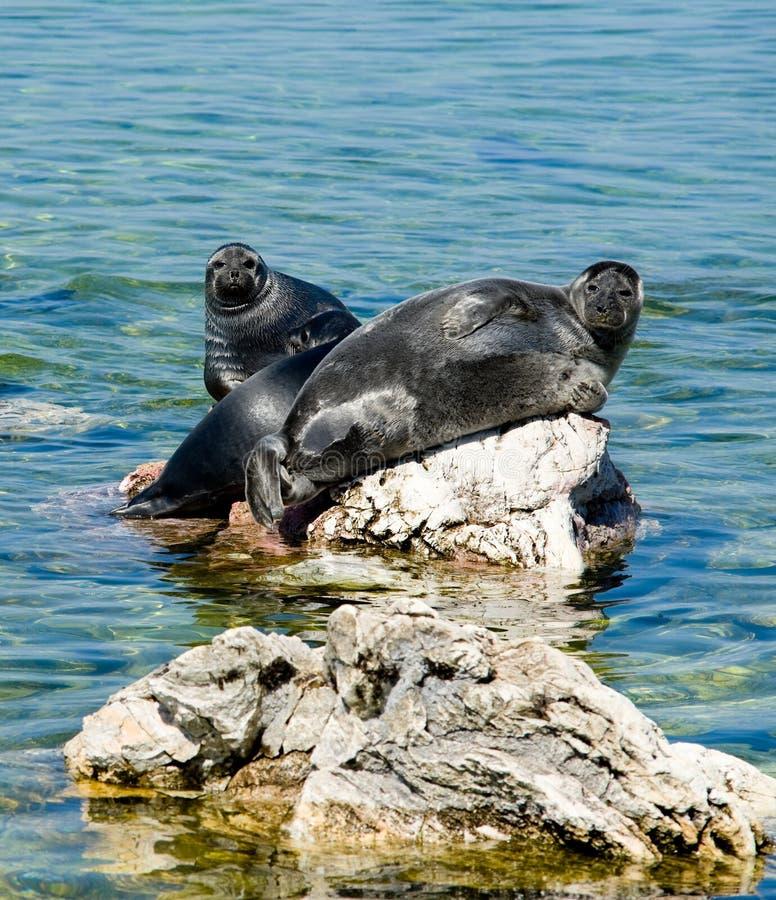 Baikal seals stock photo