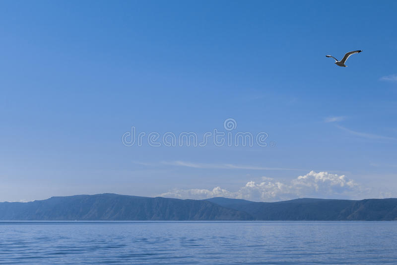 Baikal sjöseagull som flyger Ryssland arkivbild