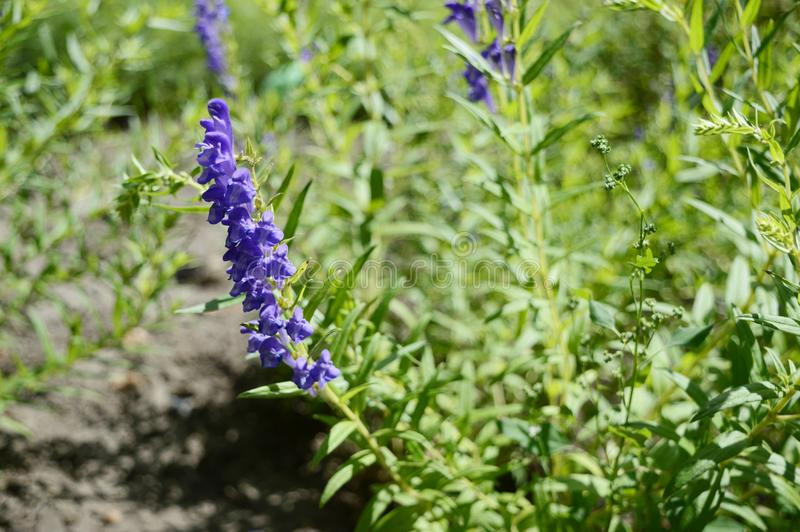 Scutellaria baicalensis called Baikal skullcap. Baikal skullcap - medicinal plant with inconspicuous blue flowers royalty free stock images