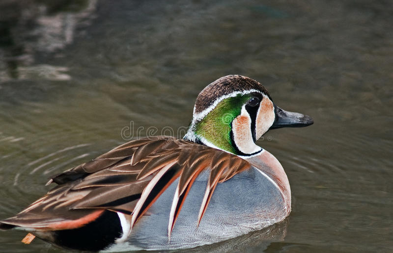 Baikal Teal. The Baikal Teal also Squawk Duck, is a dabbling duck that breeds within the forest zone of eastern Siberia. It is a migratory species, wintering in royalty free stock photos