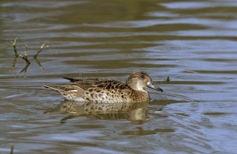Baikal Teal. Anas formosa Female duck from East Siberia royalty free stock photo
