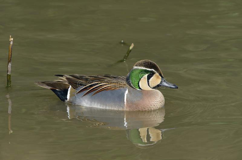 Baikal Teal. Anas formosa Male duck from East Siberia royalty free stock photo