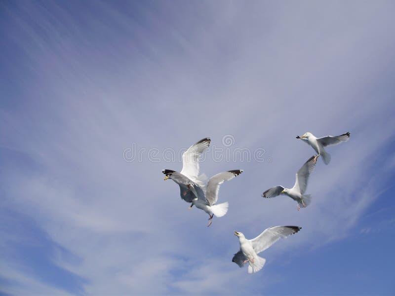 Bailado da gaivota fotografia de stock royalty free