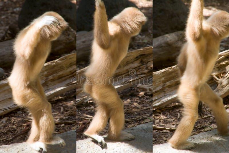 Download Baile Blanco-dado Del Gibbon Lejos En Una Serie De Tres Actitudes Imagen de archivo - Imagen de evolución, animal: 191297