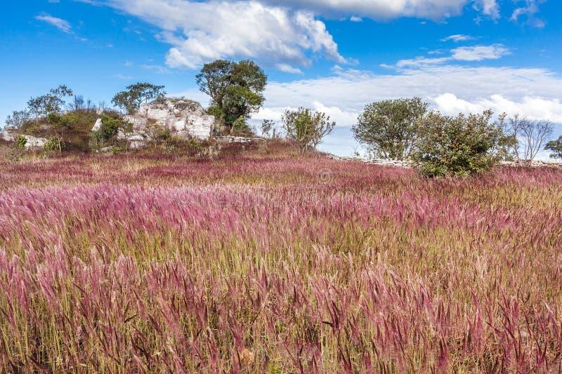 Baile de la hierba de la melaza con los vientos en Serra da Canastra National fotos de archivo