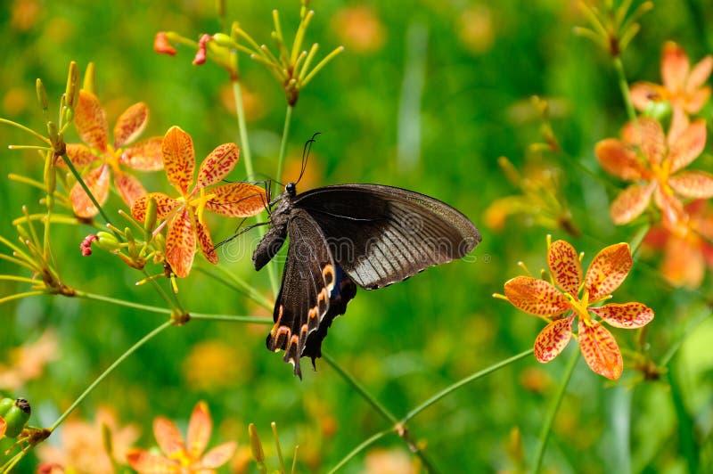Baile de la mariposa en las flores imagen de archivo libre de regalías