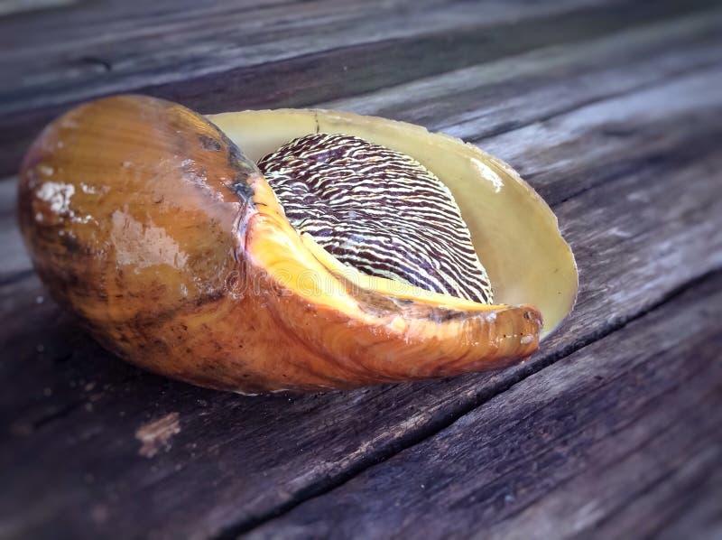 Bailer shell, Indische volute, Blocthed-meloenshell stock foto's