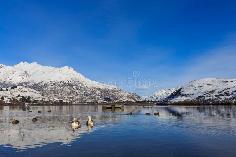Bain de canards dans le lac Hayes photo libre de droits