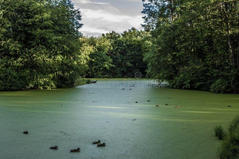 Bain de canards sauvages photographie stock libre de droits