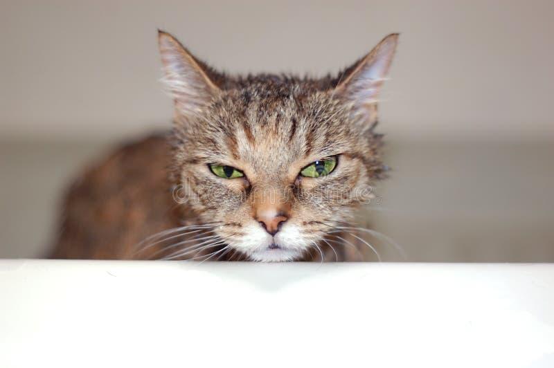 Bain de chat photo libre de droits