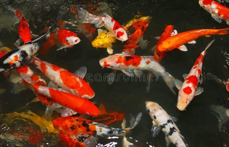 Bain de poissons de Koi sur l'étang photos stock