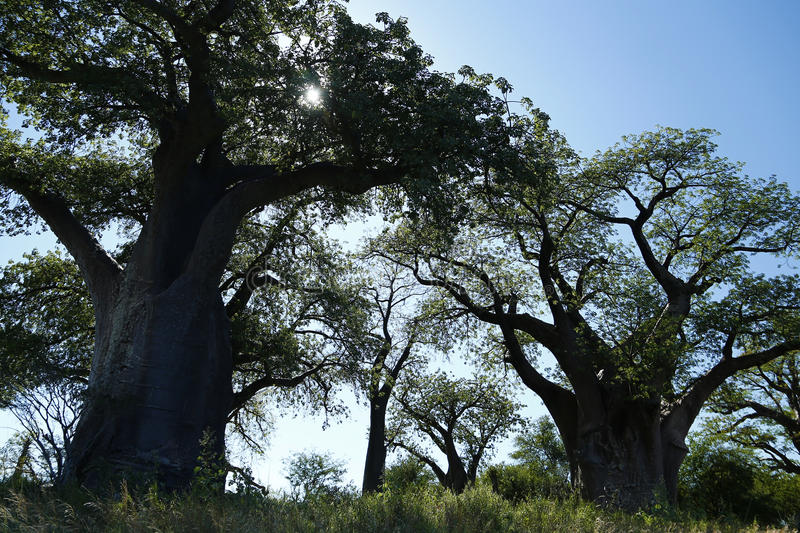 Baines Baobab Trees royalty free stock images