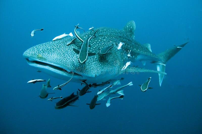 Bains de requin de baleine étroits photo stock
