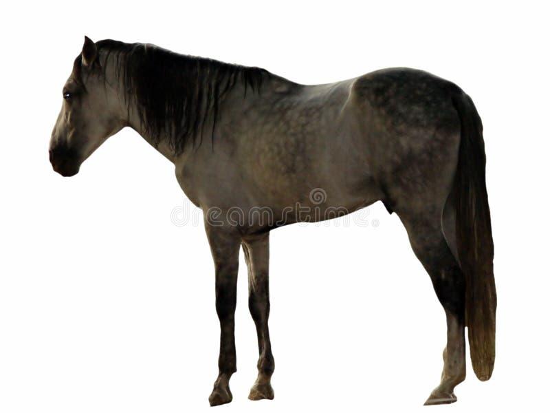 Baio Horse royalty free stock photos