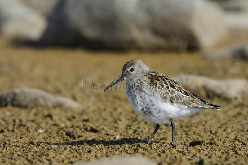 Dunlin, a medium sized sandpiper and shorebird searching for food along the arctic shore stock photography