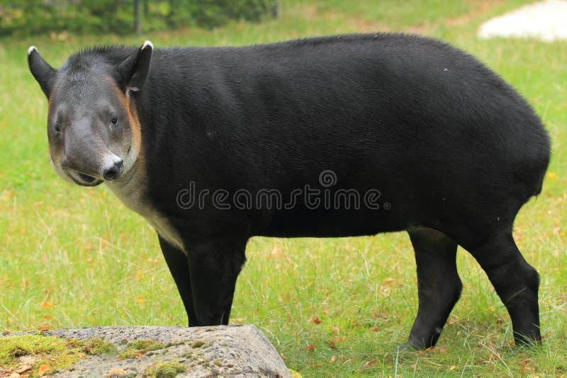 Download Baird's tapir stock image. Image of nature, america, mammal - 26793589